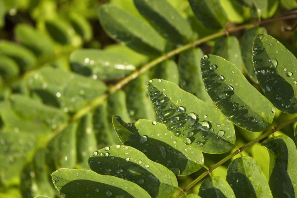 Moringa – A health superfood