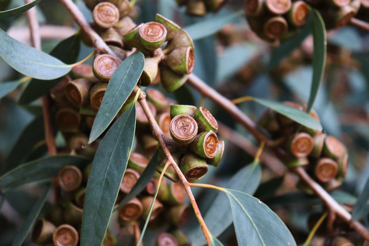 Australian eucalyptus globulus tree with its seeds