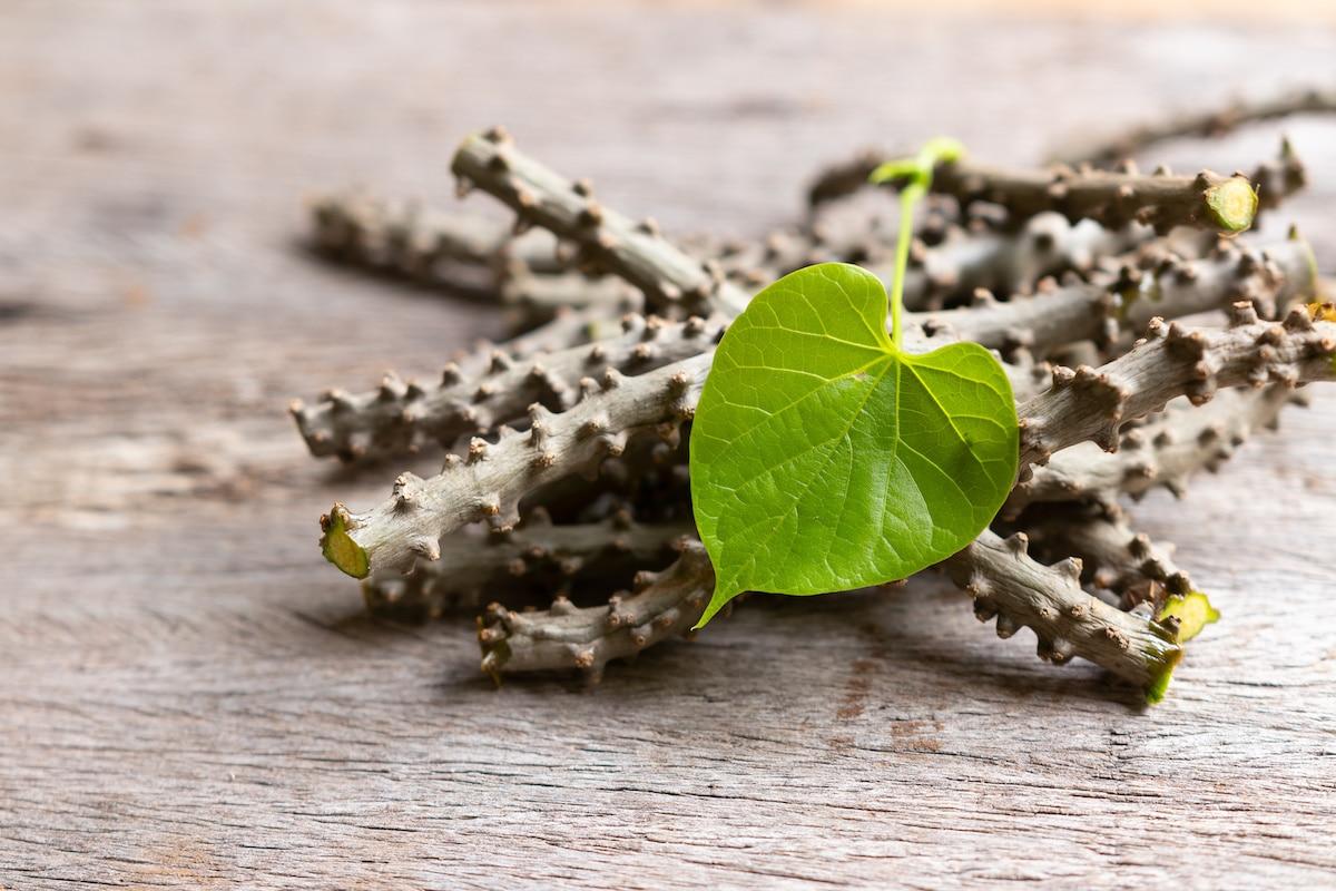 heart leaf moonseed herb for healthy, Tinospora cordifolia (Willd)., Menispermaceae