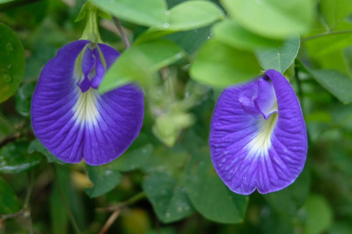 Two shankapushpi flower in sunlight